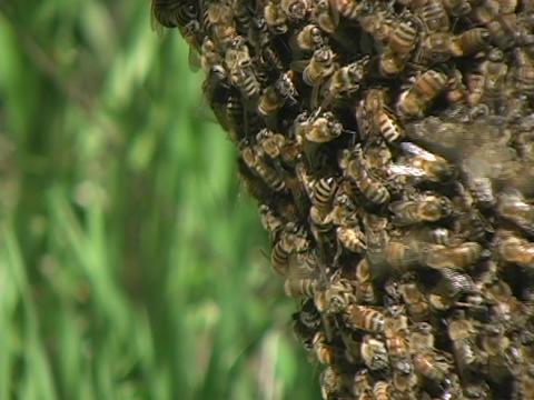 Bees swarm a beehive Footage