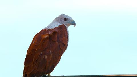Solitary Brahminy Kite against a Gray Sky Footage