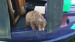 Dog on houseboat Footage