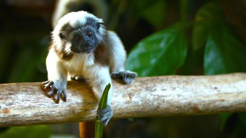 Cotton Top Tamarin Monkeys at the Zoo Footage