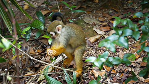 Cute Monkey Foraging for Food Footage
