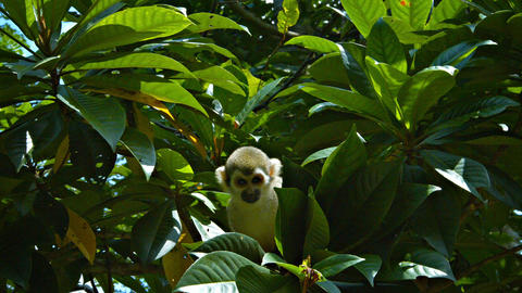 Cute Monkey Searches Tree Branches for Food Footage