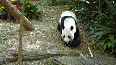 Giant Panda Wanders by at the Zoo Live Action