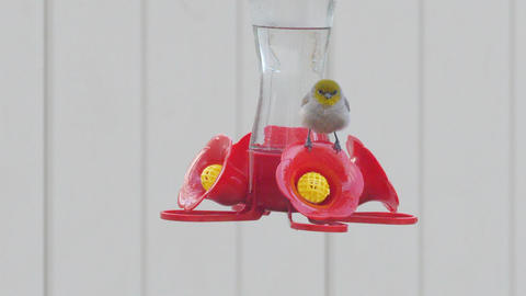Female Verdin Bird on Outdoor Hummingbird Feeder Live Action
