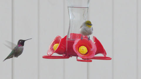 Bird and Hummingbird on Outdoor Feeder Together Live Action