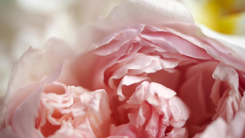 Wonderful close-up front shot of charming peonies.The petals of the wonderful Live Action