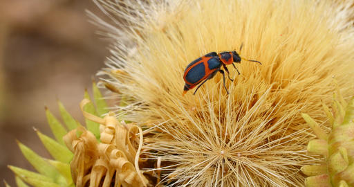 Orange and black beetle macro Live Action