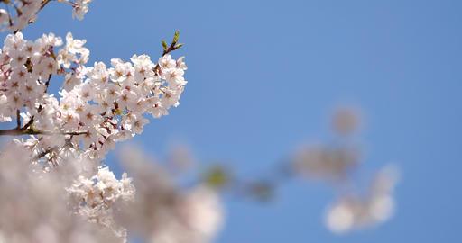 桜の花 パン撮影 ライブ動画