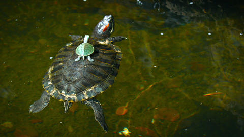 Baby Turtle Rides on its Mother's Back in a Pond Footage