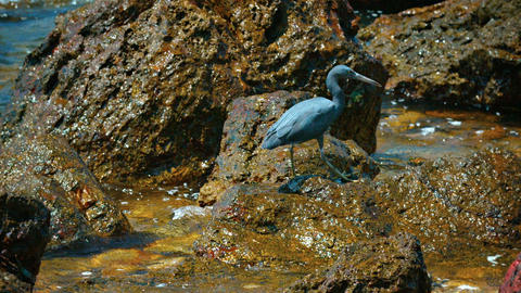 Pacific Reef Heron. Pacing over Rocks in Search of Lunch Footage