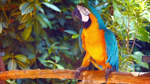 Beautiful. Solitary. Blue and Gold Macaw. Shuffling on his Perch in Captivity Footage