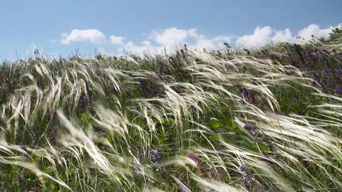 Feather Grass Footage
