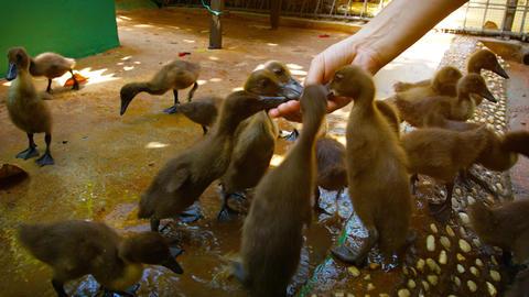 Adorable Baby Ducks at a Popular Zoo's Interactive Exhibit Footage