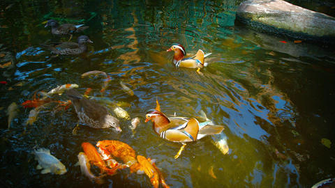 Mandarin Ducks and Japanese Koi Competing for Hand Thrown Treats Footage