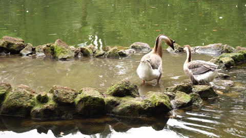 Geese in pond bathing Live Action