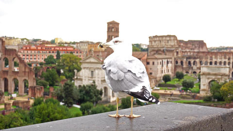 Seagull with colosseum in back Live Action