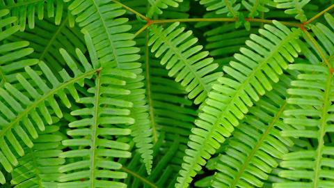 Closeup of Healthy. Green Fern Leaves Footage