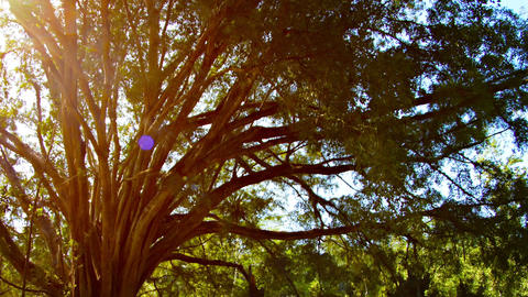 Sun Shining through Branches of Mature Ficus Tree Footage