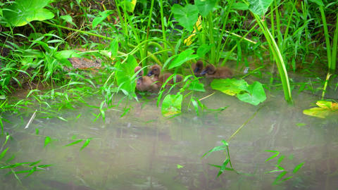 Wild Baby Ducks in a Natural Pond. with sound Footage