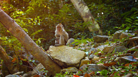 Adorable Monkey Scratches Himself while Sitting on a Rock Footage
