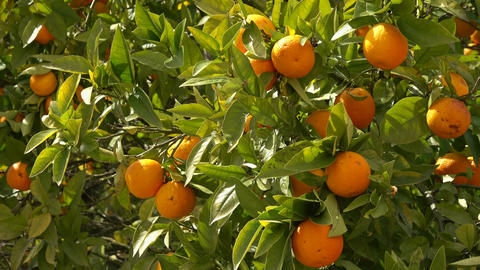 Ripe oranges fruits hanging on tree in garden Live Action