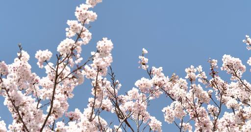桜 揺れる桜 パン撮影 ライブ動画