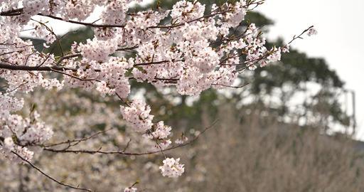 Cherry blossom Live Action