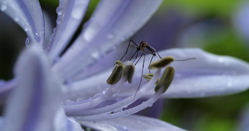 Mosquitoes and flowers Live Action