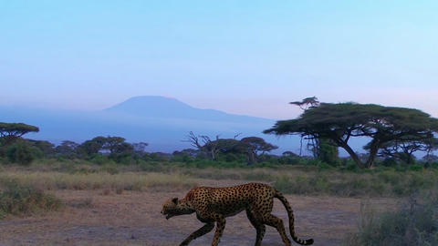 Cheetah on the Background of Kilimanjaro Animation Live Action