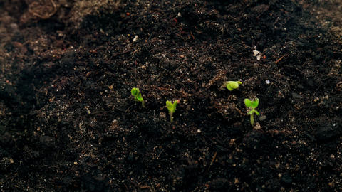 small green plants growing from soil ground, agriculture concept, new life Live Action
