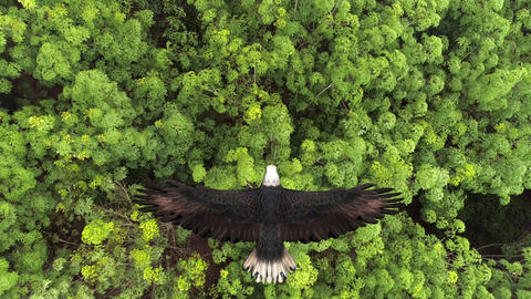 Bald eagle flying over the forest Live Action