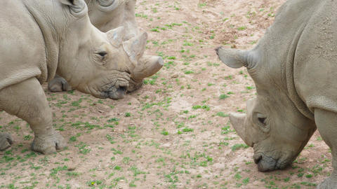 Southern white rhinoceros (Ceratotherium simum simum). Critically endangered animal species Live Action