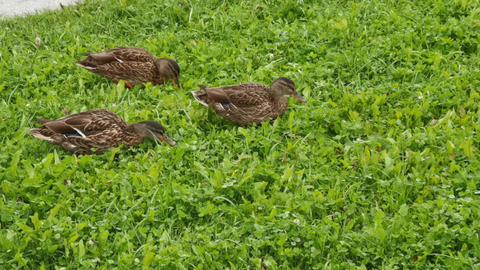 City ducks in the park on green grass Live Action