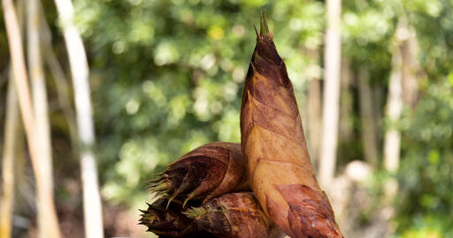 Bamboo shoot Live Action