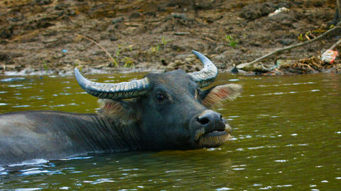Water Buffalo Bathing in a River in Southeast Asia Live Action