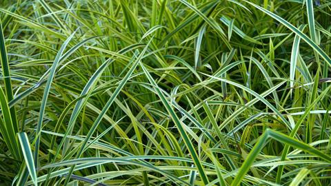 Closeup of Bicolor Blades of Grass in a Garden Footage