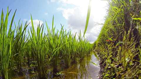Unique Perspective of a Rice Paddy from along a Wall Footage