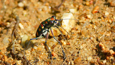 Closeup of a Brightly Colored. Iridescent Tiger Beetle in the Wild Footage