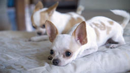 A close up of a two adorable chihuahuas lying on a bed in slow motion Footage
