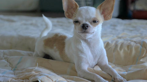 A close up of an adorable chihuahua laying on a bed in slow motion Footage