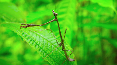 Closeup of a Praying Mantis on a Leaf. with Sound Footage
