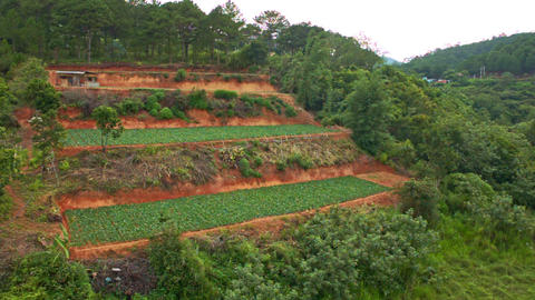 Upper View of Hill Terrace Fields among Tropical Pine Forest Footage