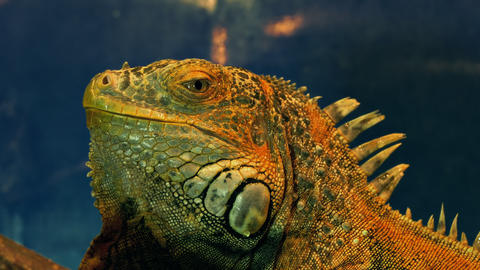 4K Green Iguana Close-Up Footage