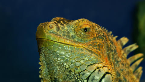 4K Green Iguana Opens Its Eye Footage