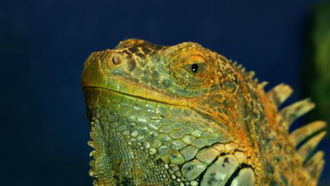4K Green Iguana Opens Its Eye Footage