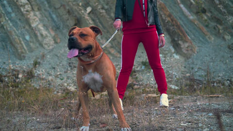 Dog fighting breed with his mistress. Young blonde holds on a lead a dog breed Live Action