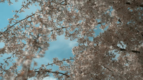 Close up cherry blossom trees swaying with wind. Under blossoming cherry trees Live Action
