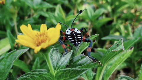 A black, white and orange bug near to a flower Live Action