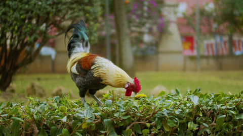 A big colorful majestic rooster is walking in the park Live Action