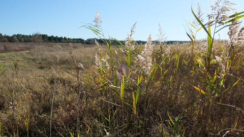 reed bushes sway in the wind in the steppes of Ukraine GIF